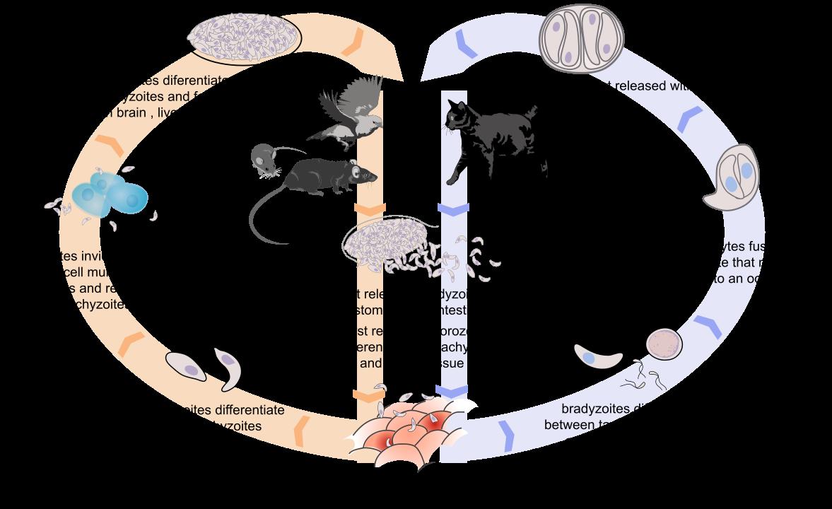 Toxoplasma gondii, livscykel - Wikimedia Commons