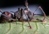 Ophiocordyceps unilateralis som dödat en myra - Foto: David Hughes, Penn State University
