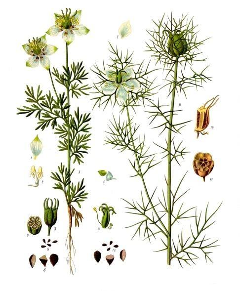 Svartkummin - Nigella sativa - Franz Eugen Köhler, Köhler's Medizinal-Pflanzen