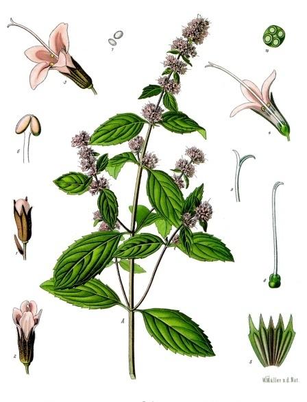 Mentha - Bild: Köhler, Medizinal Pflanzen