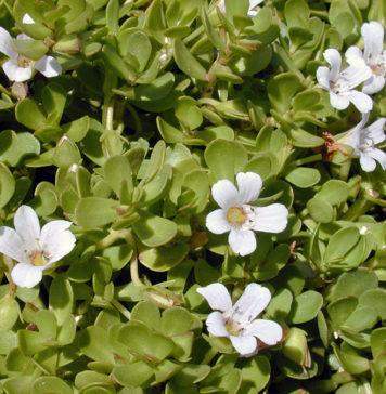 Bacopa monnieri (Brahmi) - Foto: Forest och Kim Starr, Wikimedia Commons, CC BY 3.0