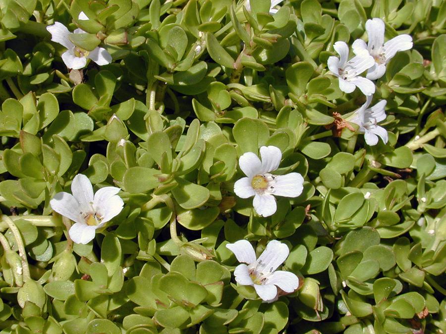 Litet tjockblad, Bacopa monnieri (Brahmi) - Foto: Forest och Kim Starr, Wikimedia Commons, CC BY 3.0