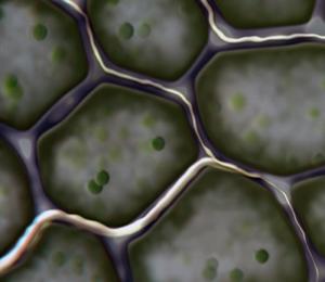 Mikrosvamp växer in mellan värdens celler