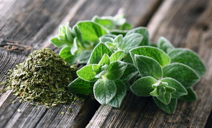 Oregano (Origanum vulgare) kan hjälpa mot urinvägsinfektion - Adobe Stock