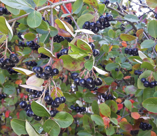 Aronia melanocarpa, svart aronia. Foto: Michael Jeltsch. Licens: CC BY-SA 4.0, Wikimedia Commons