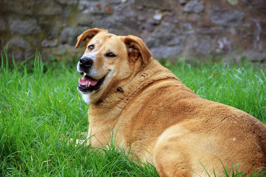 Golden Retriever. Foto: Barbara Danázs. Licens: CC0 1.0, Pixabay.com
