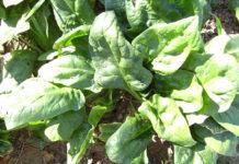 Spenat (Spinacia oleracea). Foto: Victor M. Vicente Selvas. Public Domain, Wikimedia Commons