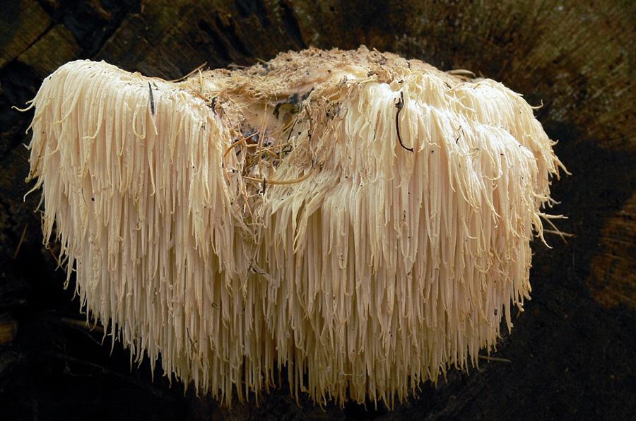 Matsvamp - Igelkottsvamp (Hericium erinaceus) på engelska Lions mane har neurogenerativa egenskaper. Foto: Lebrac. Licens: CC BY-SA 3.0, Wikimedia Commons