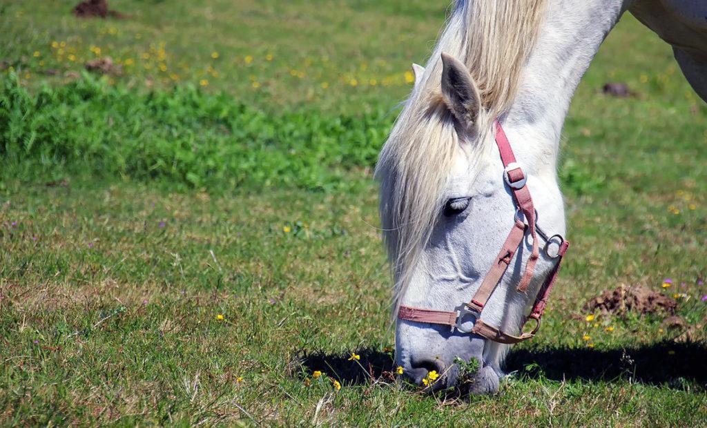 Häst - Foto: Der Silent. Licens: Pixabay (free use)