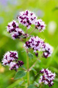 Bild av blommande oregano. Foto: Zullusim. Licens: Pixabay (free use)