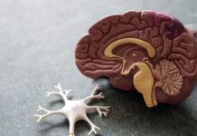 Modell av hjärna. Foto: Obina Weermeijer. Licens: Unsplash.com