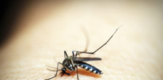 Bild på malariamygga. Foto: 41330. Licens: Pixabay.com (free use)