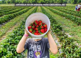 Cbd olja kan förlänga hållbarheten hos jordgubbar. Foto: Mick Haupt Licens: Unsplash